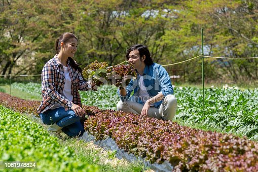 istock Young men and women harvesting sunny lettuce 1081978824