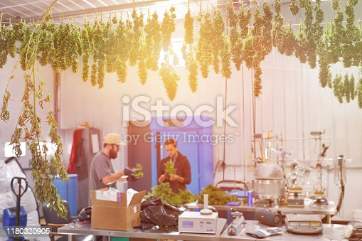 Young men trimming Cannabis buds in CBD Oil laboratory