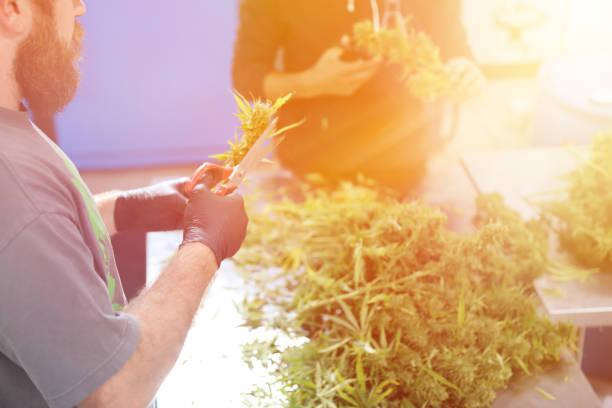 Junge Männer trimmen Cannabis Knospen – Foto