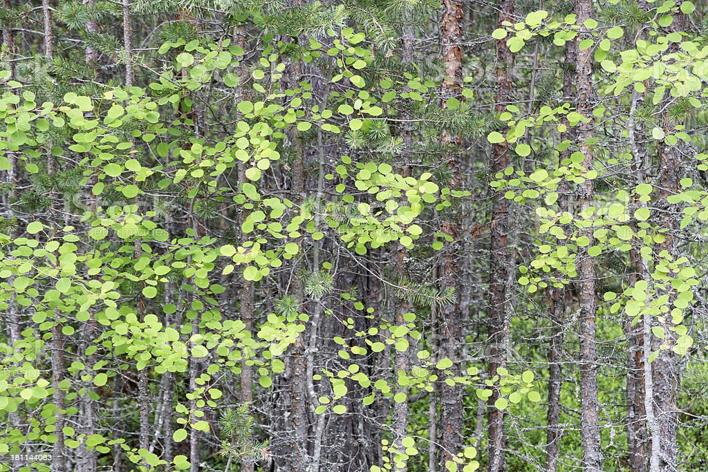 young mixed forest royalty-free stock photo