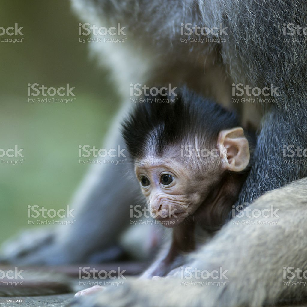 Young monkey stock photo