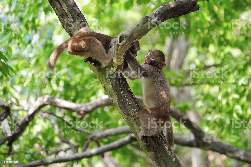 young monkeys are playing 01 royalty-free stock photo