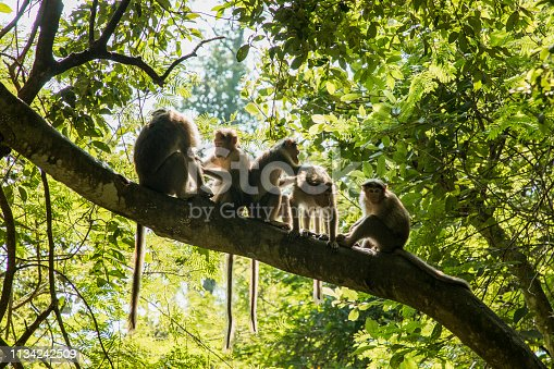 A wide-view shot of a small group of young monkeys relaxing in a forest on a bright day in Kerala, India. They are picking lice from eachother, they are high up sitting on a branch.