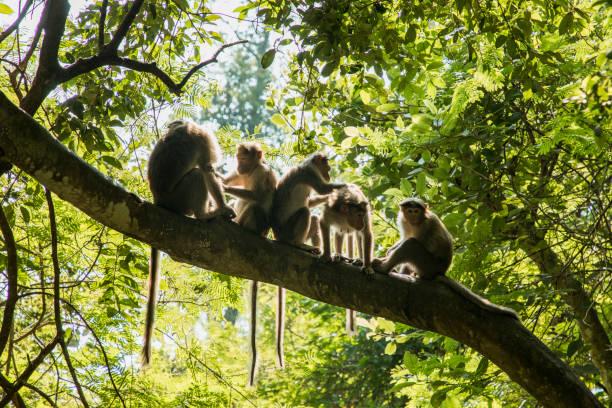年輕猴子的清潔 - 猴子 個照片及圖片檔