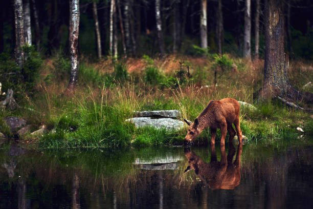 Young moose (Alces alces) drinks water in the lake. Elk symbol of Sweden. Wildlife scene from nature. stock photo