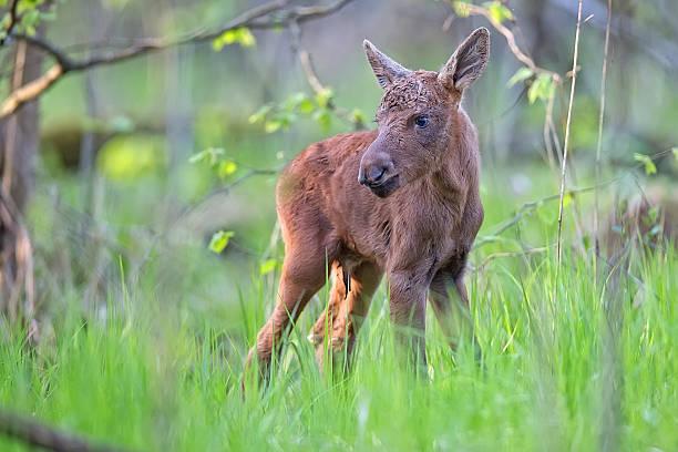 Junge Elch im Wald – Foto