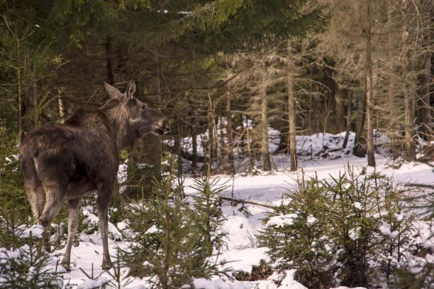 en ung älg är stående i skogen och titta på. sett på vintern - älg sverige bildbanksfoton och bilder