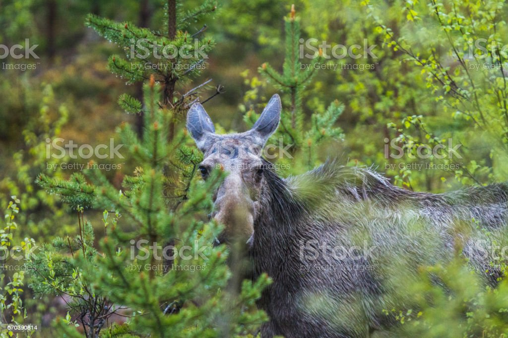 Young Moose looking into the camera stock photo