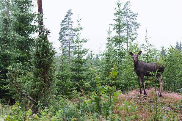 young moose - älg sverige bildbanksfoton och bilder