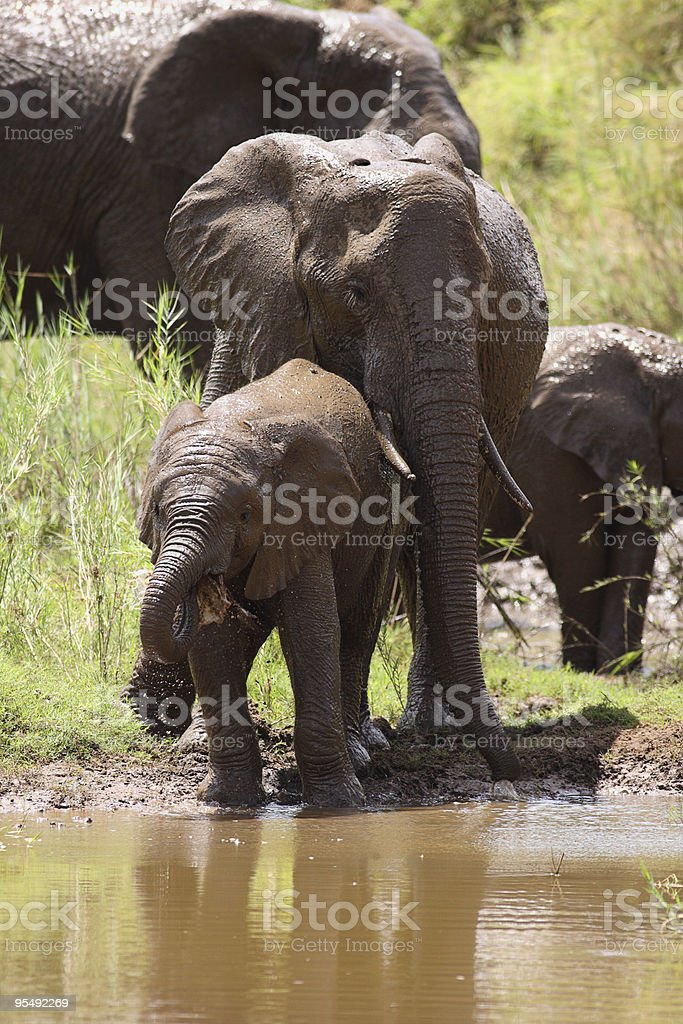 Young mother elephant standing protectivly behind her calf  while drinking stock photo