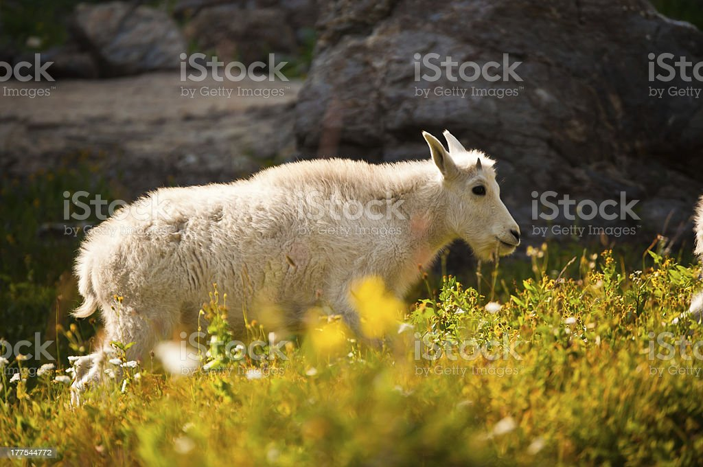 Young Mountain Goat by Rocks and Flowers royalty-free stock photo