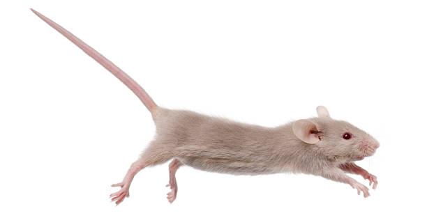 Jeune souris sauter devant un arrière-plan blanc - Photo