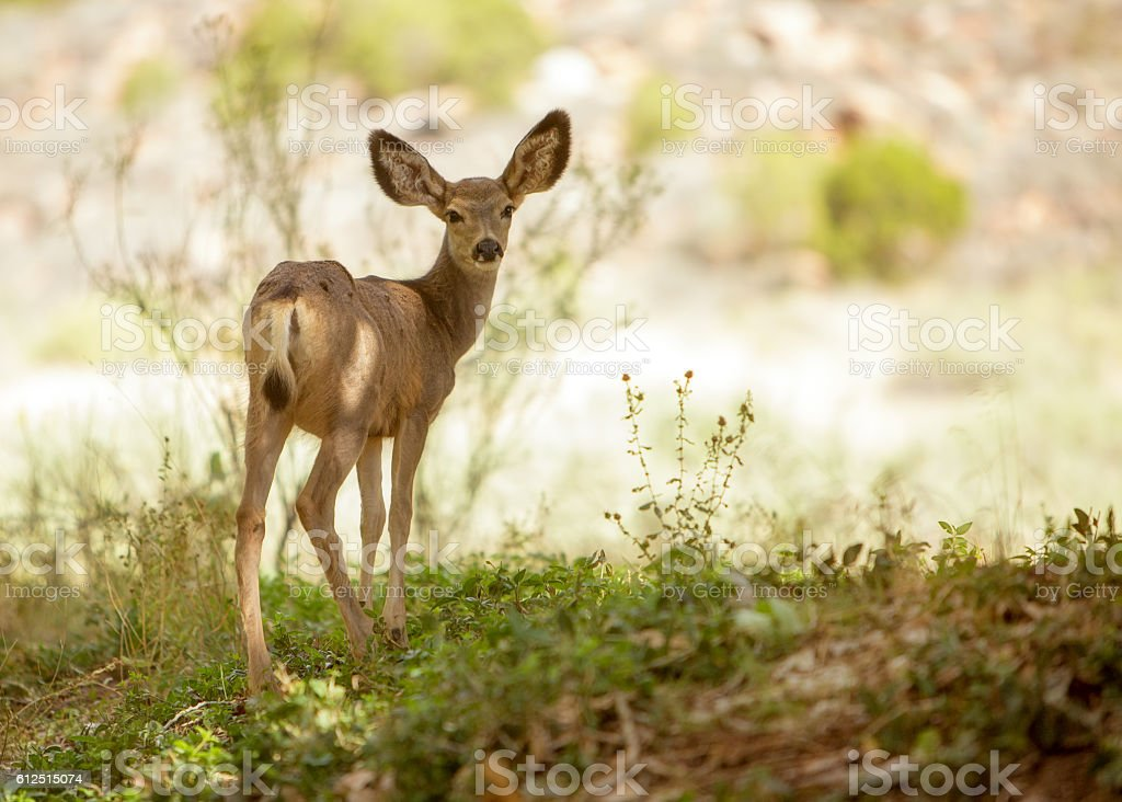 Young mule deer looking back into camera stock photo