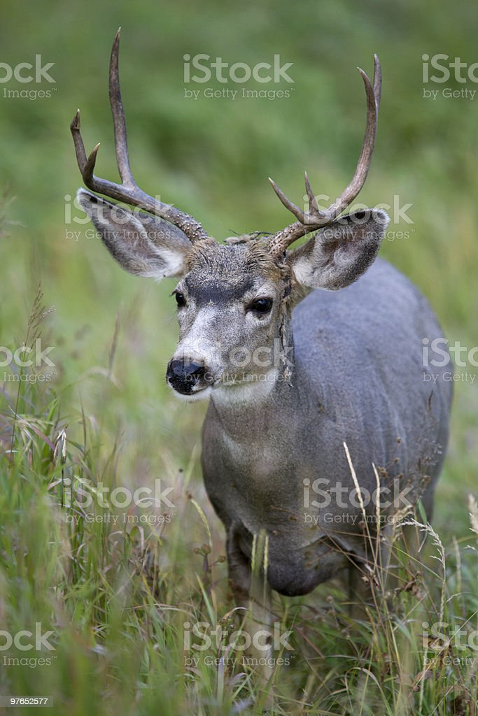 Young Mule Deer royalty-free stock photo
