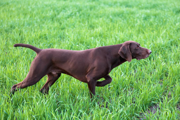 A young muscular brown hunting dog is standing in a point in the field among the green grass. A spring warm day. German Short-haired Pointer. A young muscular brown hunting dog is standing in a point in the field among the green grass. A spring warm day. German Short-haired Pointer. hunting dog stock pictures, royalty-free photos & images