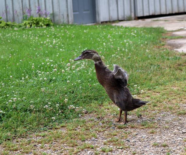 Young Muskovy Duck Stands Flapping His Wings - foto stock