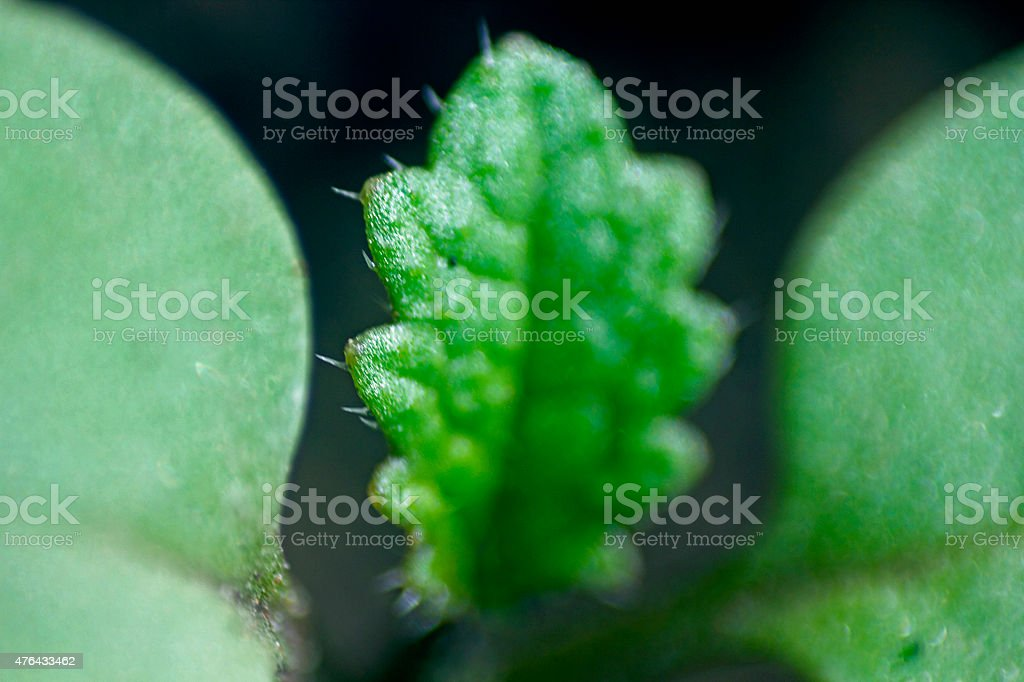 Young mustard growing in the field stock photo