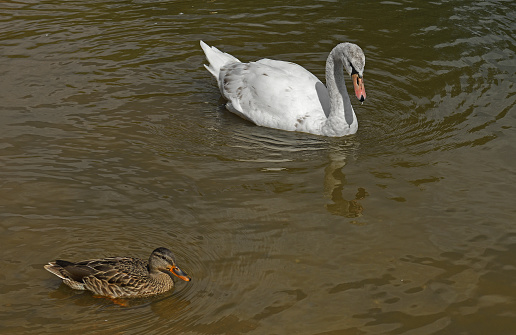 Young Mute swan (Cygnus olor) and wild duck (Anas platyrhynchos)