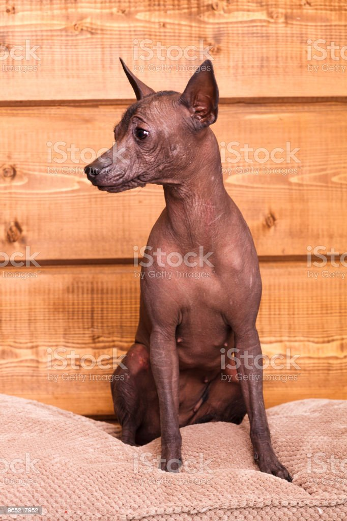 young naked Mexican breed dog sits on a wooden wall background zbiór zdjęć royalty-free