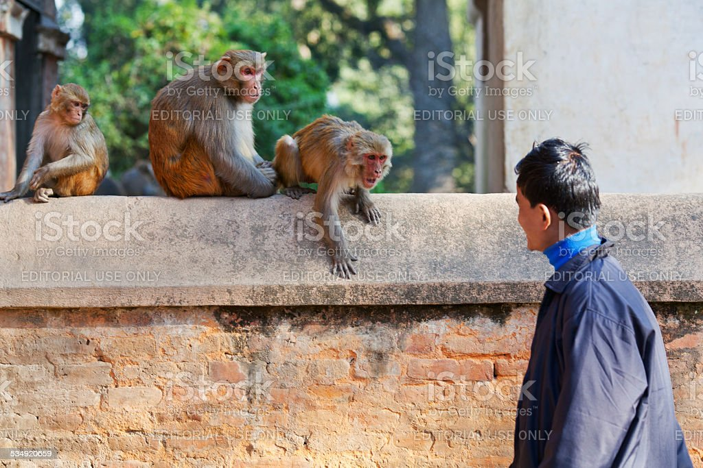 Young Nepalese man teasing monkeys stock photo