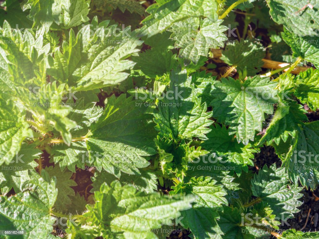 Young nettle in  garden on natural turf. Close up. Medicine healthy a grass for preparation infusion tea. royalty-free stock photo
