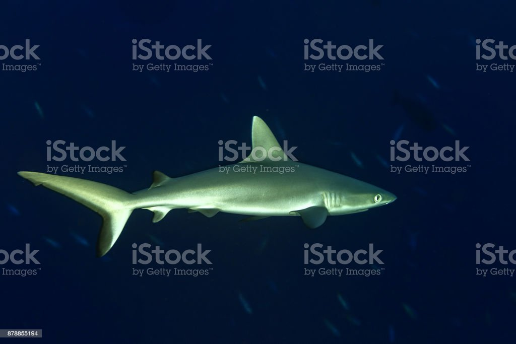 young newborn Grey shark ready to attack underwater in the blue stock photo