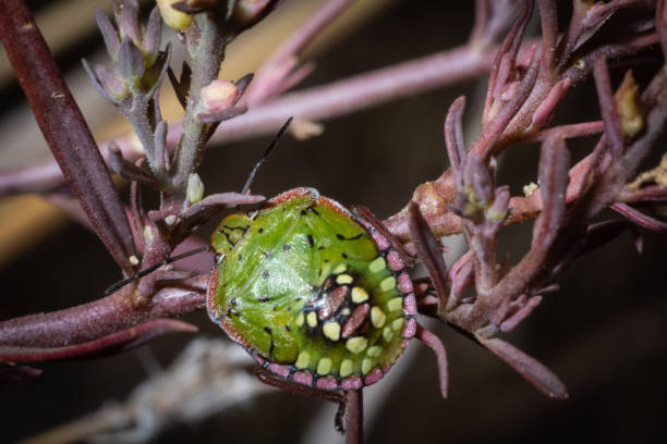 Junge Nezara viridula auf Pflanze – Foto