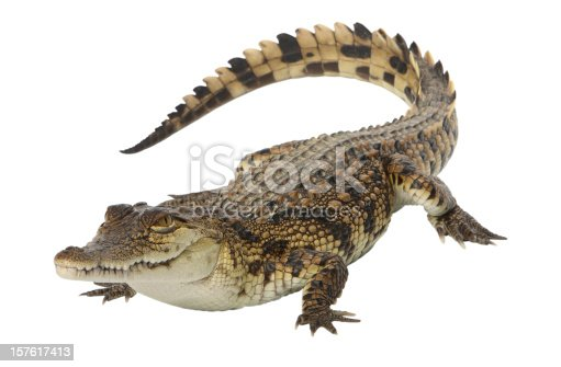 young Nile crocodile, studio shot, with clipping path