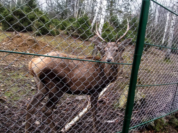 A young noble reindeer with horns stands in the confinement and looks into the camera stock photo