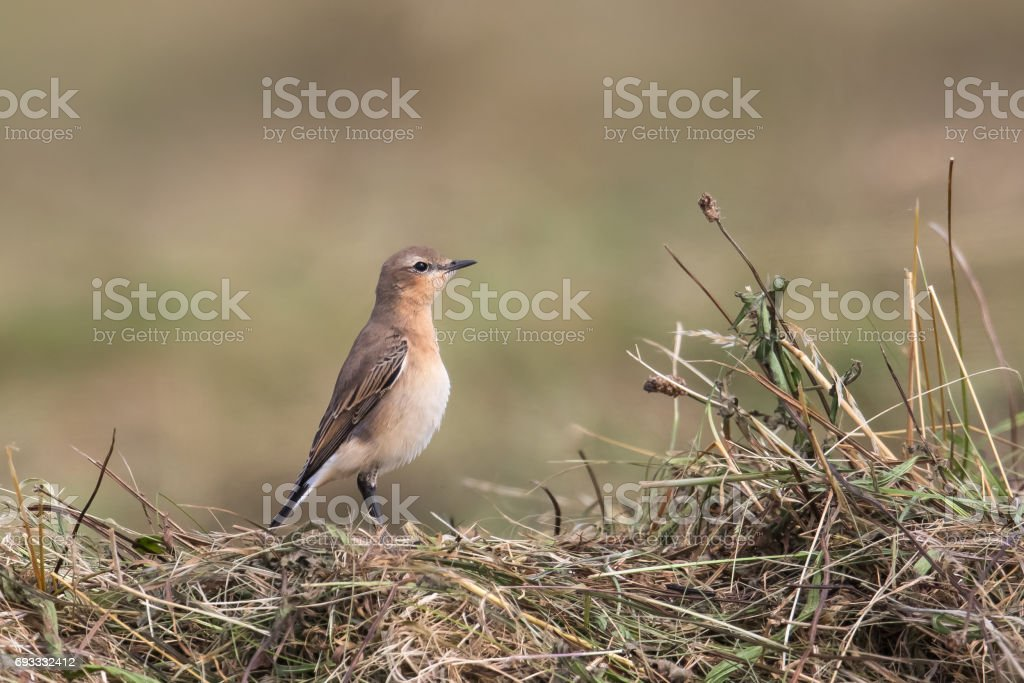 Young Northern Wheatear on cut grass field stock photo