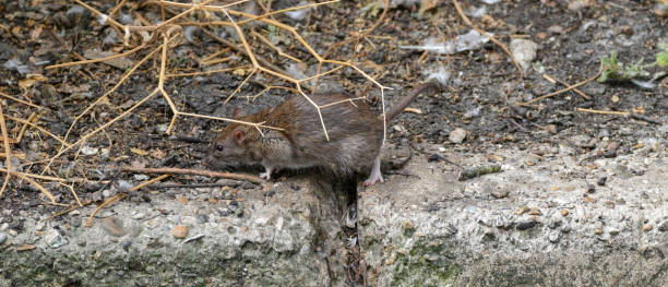 young norway brown rat living on mitcham pond rattus norvegicus - whiteway rat stock photos and pictures