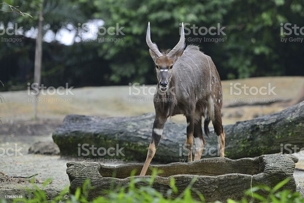 Young nyala royalty-free stock photo