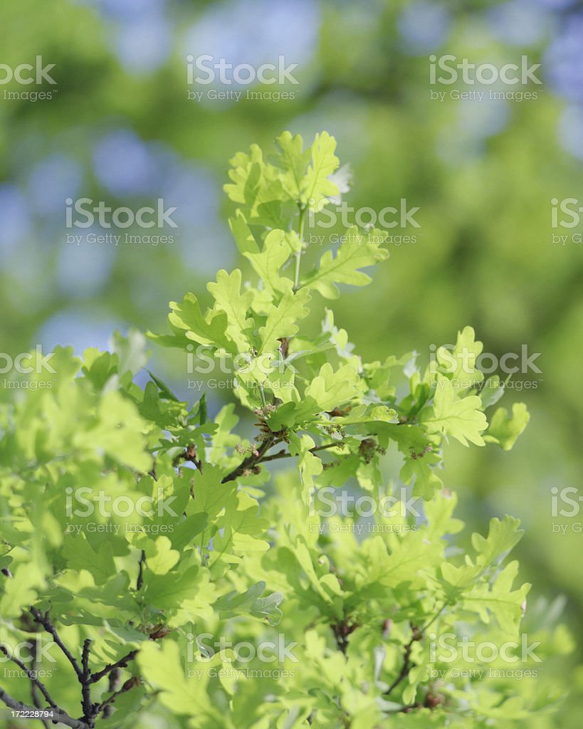 Young Oak Leaves royalty-free stock photo