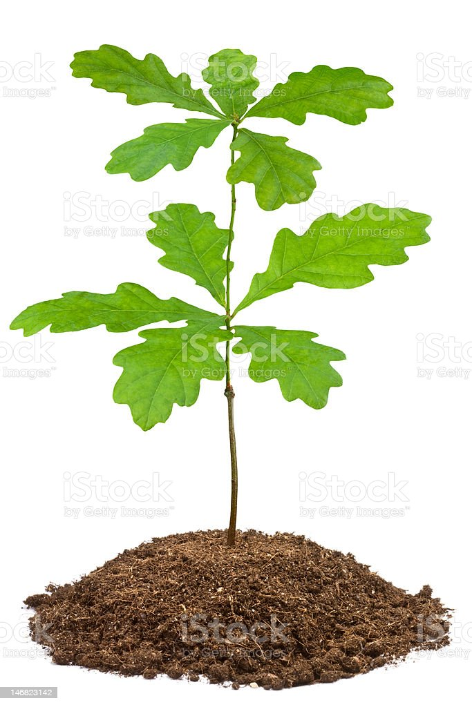 Young oak stock photo