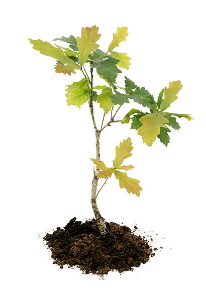 young oak oak sapling on white background sapling stock pictures, royalty-free photos & images
