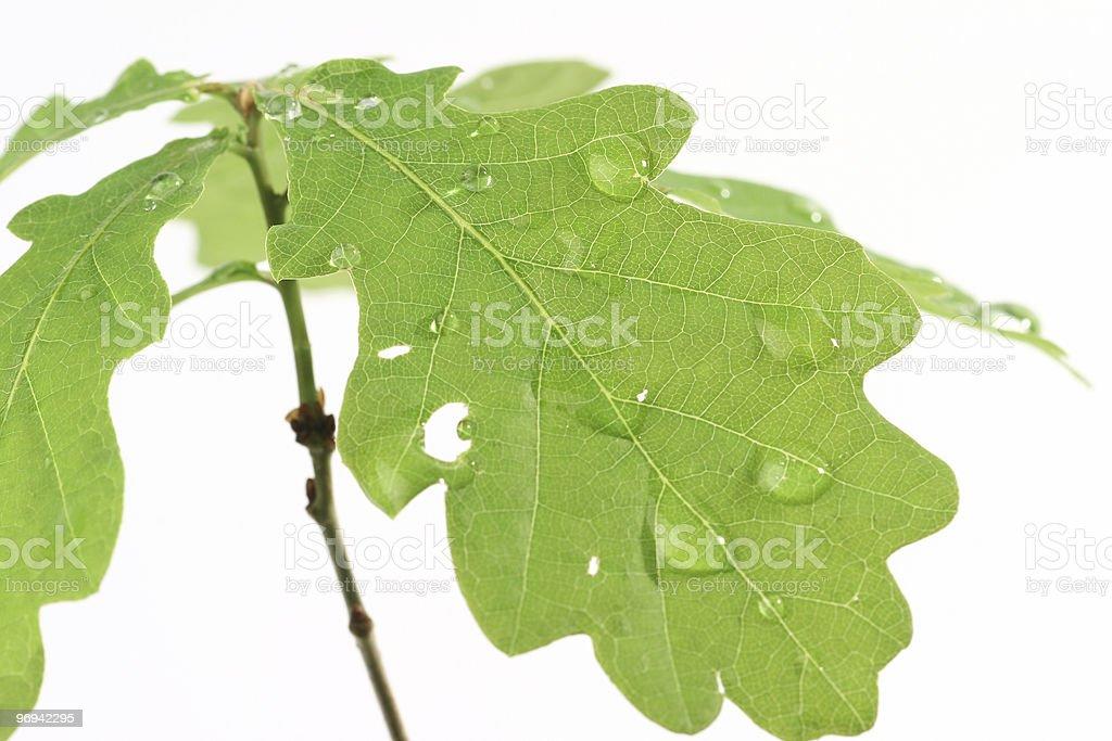 young oak royalty-free stock photo
