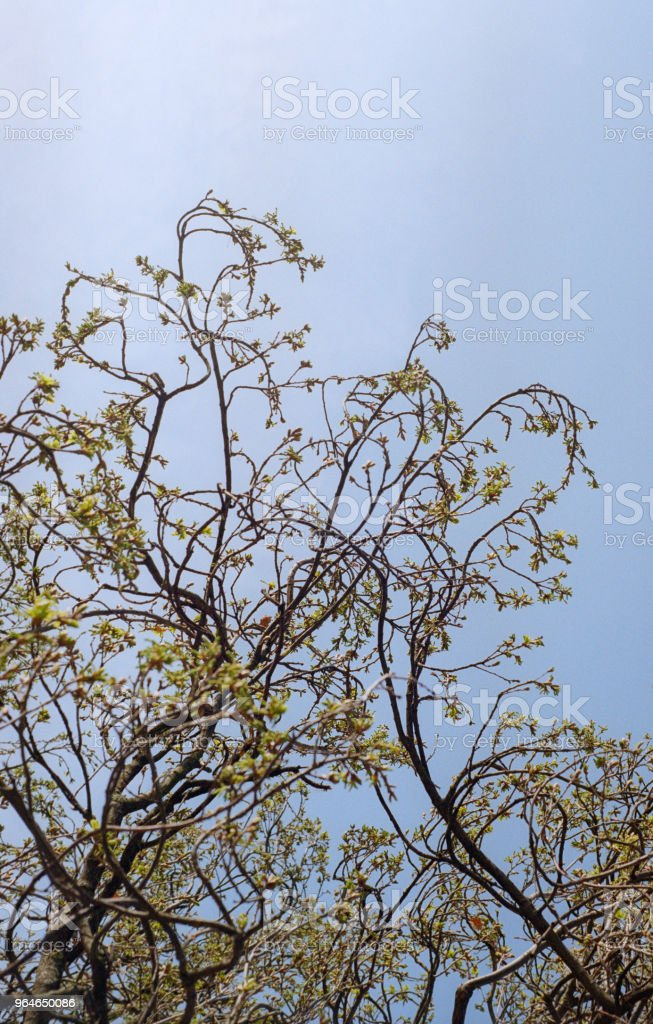 Young oak tree branches beyond the sky. Shot on film royalty-free stock photo