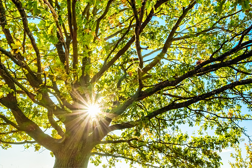 Young oak tree on a sunny day