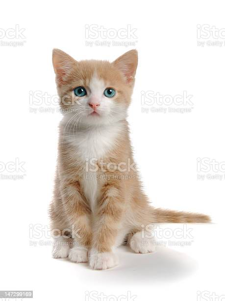 Young orange and white cat isolated on white picture id147299169?b=1&k=6&m=147299169&s=612x612&h=e630kgorazos mu3jtpyoymfzql6l5ix1mhz oizjei=