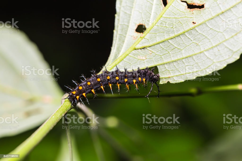 Young Orange Oakleaf caterpillar stock photo