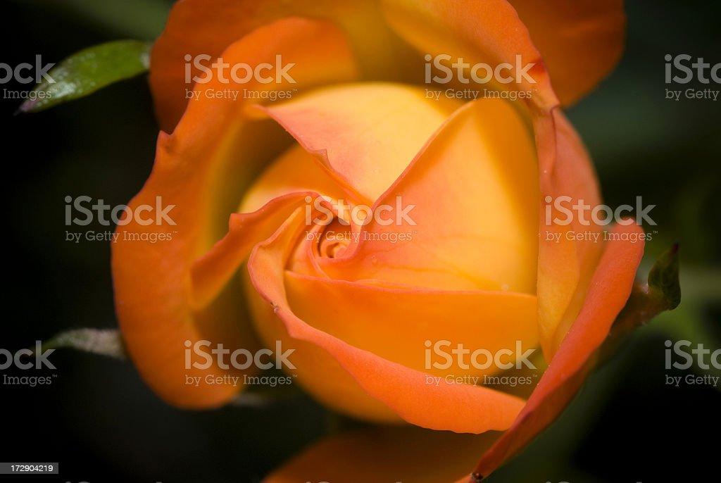 Young Orange Rose stock photo