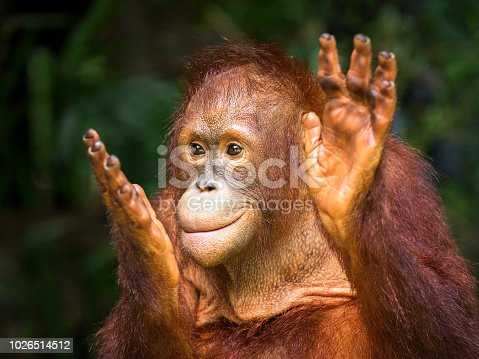 Young orangutan clapping delight in the natural environment of the forest.