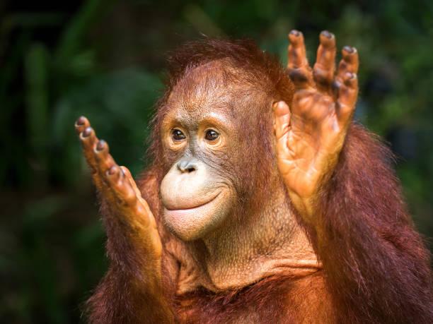 Young orangutan clapping delight in the natural picture id1026514512?b=1&k=6&m=1026514512&s=612x612&w=0&h=b41vk 5fut56wzkbynoqwehryemne0iesjwv3lbuvva=