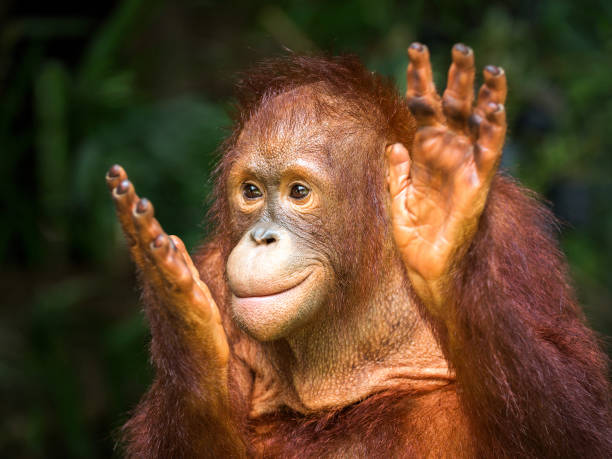 Young orangutan clapping delight in the natural Young orangutan clapping delight in the natural environment of the forest. orangutan stock pictures, royalty-free photos & images