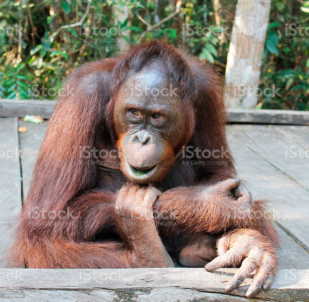 Young orangutan royalty-free stock photo