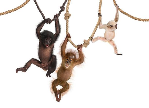 Young Orangutan, Pileated Gibbon and Bonobo hanging on ropes stock photo
