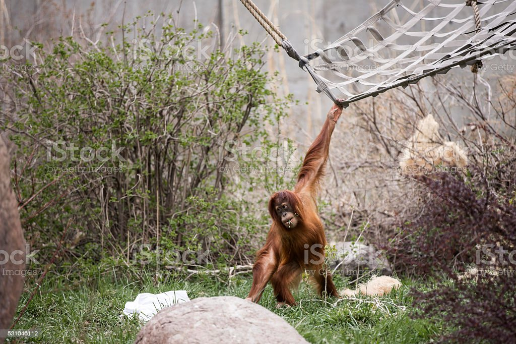 Young Orangutan playing at the zoo stock photo