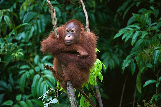 Young Orangutan sitting on the tree Indonesia, Borneo - Young Orangutan sitting on the tree orangutan stock pictures, royalty-free photos & images