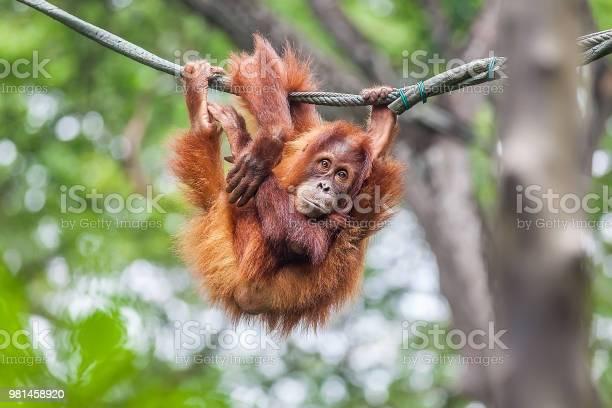 Young orangutan swinging on a rope picture id981458920?b=1&k=6&m=981458920&s=612x612&h=jgqmmuwvvoeeujc7x8t8oj3fpwjk2kfmjmqnype ex8=