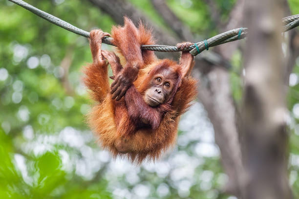 young orangutan swinging on a rope - ape stock pictures, royalty-free photos & images